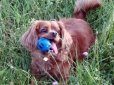Cavalier King Charles Spaniel, 9, ruby